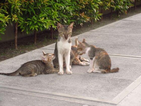 フィリピン短期語学留学クラークAELC(猫)