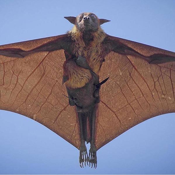 空飛ぶフィリピンオオコウモリ