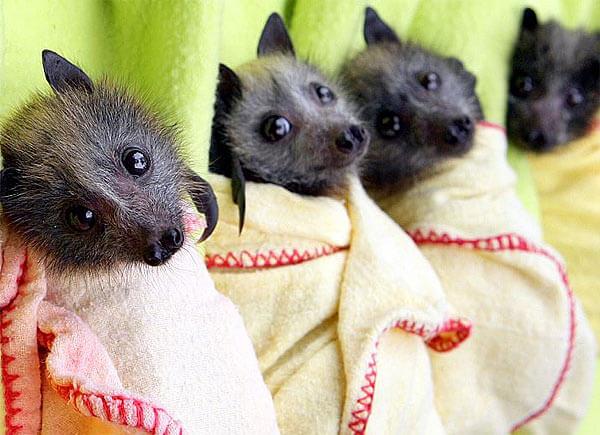 フィリピンオオコウモリの赤ちゃん