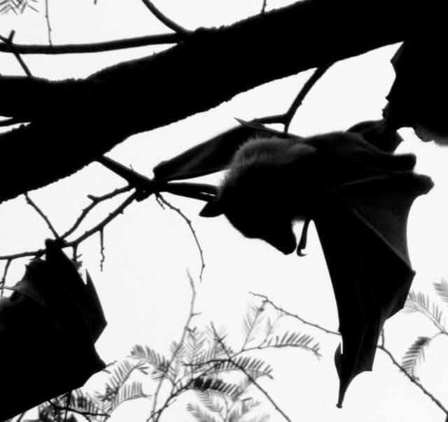 オオコウモリの生息地